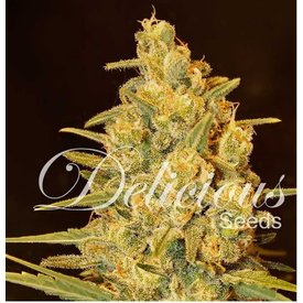 Delicious Seeds Critical Sensi Star Fem 5 pk