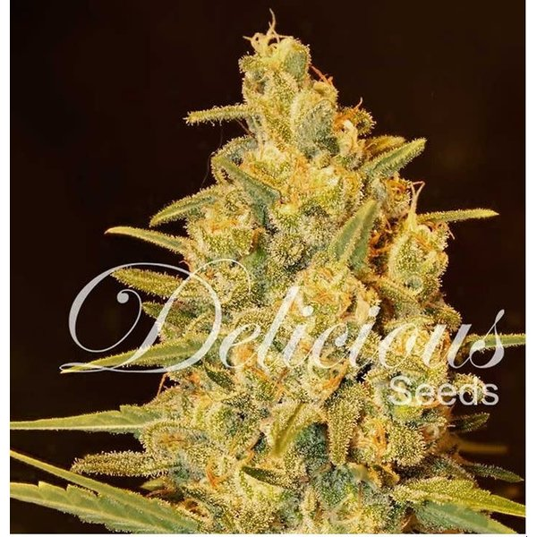 Delicious Seeds Delicious Seeds Critical Sensi Star Fem 5 pack