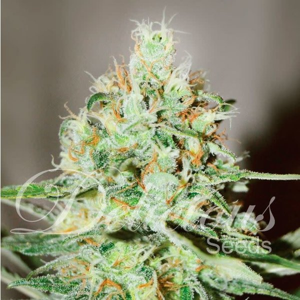 Delicious Seeds Delicious Seeds Jagg Kush Fem 5 pk