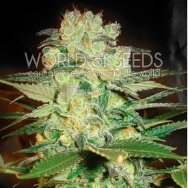 World of Seeds Afghan Kush x White Widow Fem 7 pk