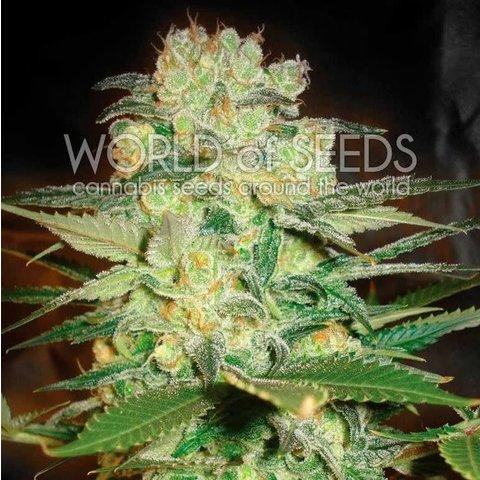 World of Seeds Afghan Kush x White Widow Fem 7 pk