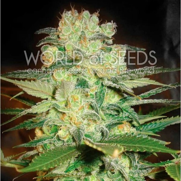 World of Seeds World of Seeds Afghan Kush x White Widow Fem 7 pk