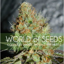 World of Seeds World of Seeds Afghan Kush Special Fem 7 pack