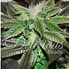 Delicious Seeds Sugar Candy Fem 5 pack