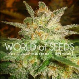 World of Seeds World of Seeds Star 47 Fem 7 pack