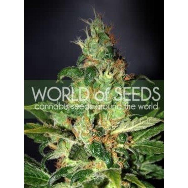 World of Seeds Chronic Haze Fem 7 pk