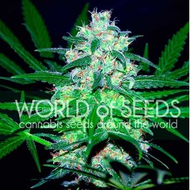 World of Seeds World of Seeds Pakistan Valley Fem 7 pk