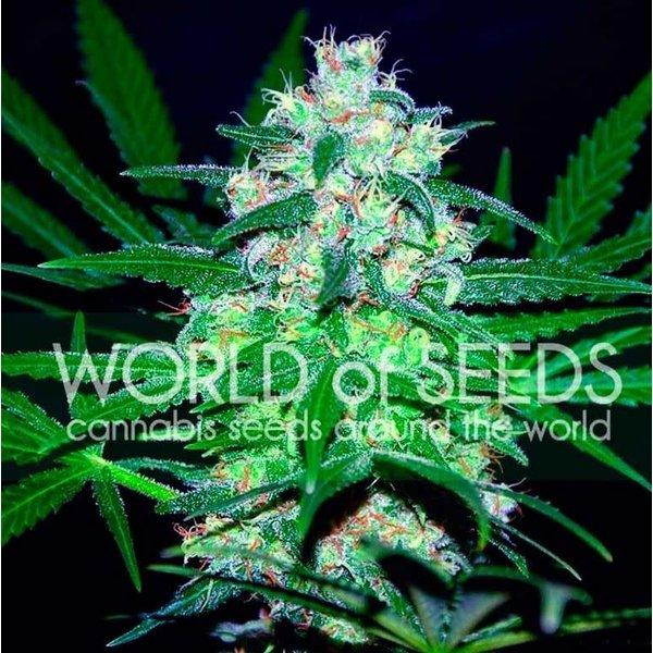 World of Seeds Pakistan Valley Fem 7 pk