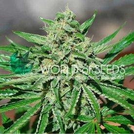 World of Seeds World of Seeds CBD Tonic Fem 7 pack