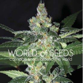 World of Seeds World of Seeds Amnesia Fem 7 pk