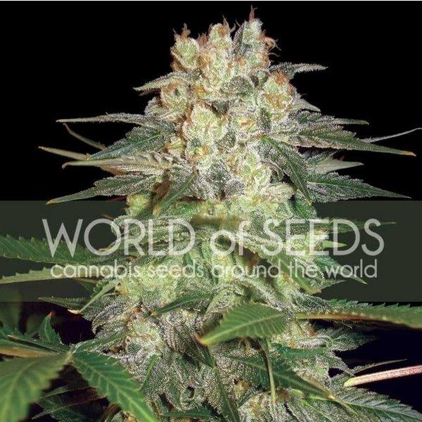 World of Seeds Afghan Kush Ryder Auto 7 pk