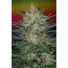 Subcool Subcool's The Dank Scarlett Queen Reg 5 pk