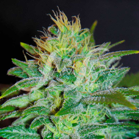 Sweet Black Angel Fem 5 pk