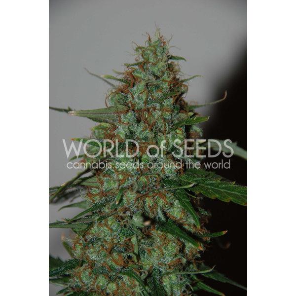 World of Seeds Wild Thailand Ryder Auto 7 pk