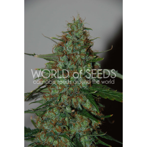 World of Seeds World of Seeds Wild Thailand Ryder Auto 7 pk