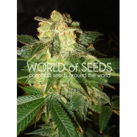 World of Seeds Pakistan Ryder Auto 7 pk
