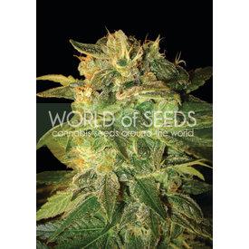 World of Seeds World of Seeds Sugar Mango Ryder Auto 7 pk