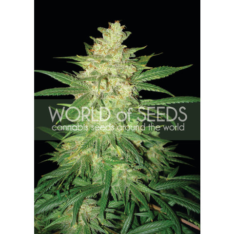 World of Seeds Sweet Coffee Ryder Auto 7 pk