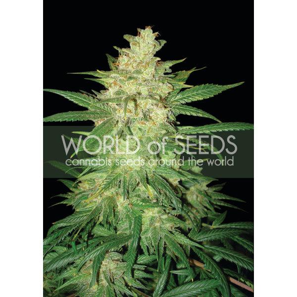 World of Seeds Sweet Coffee Ryder Auto 7 pk