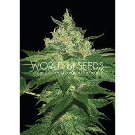 World of Seeds World of Seeds Afghan Kush Early Version Fem 7 pack