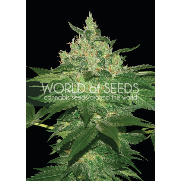 World of Seeds World of Seeds Afghan Kush Early Version Fem 7 pk