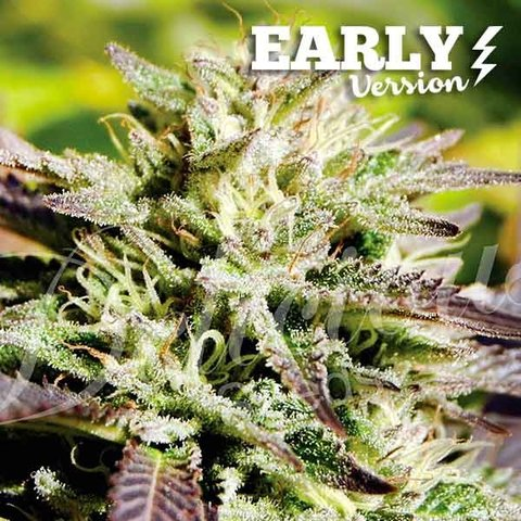 Delicious Seeds Caramelo Early Version Fem 5 pack