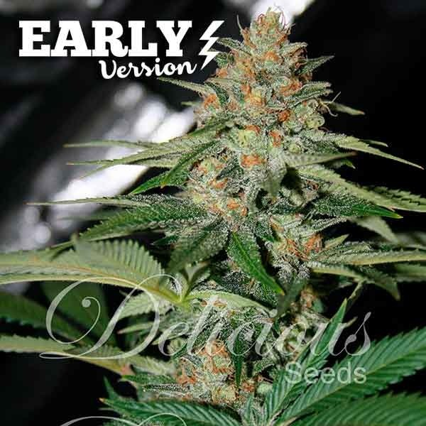 Delicious Seeds Delicious Candy Early Version Fem 5 pk