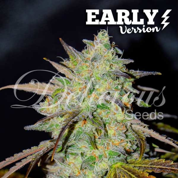 Delicious Seeds Delicious Seeds Marmalate Early Version Fem 5 pack