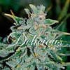Delicious Seeds Northern Light Blue Auto Fem 5 pk