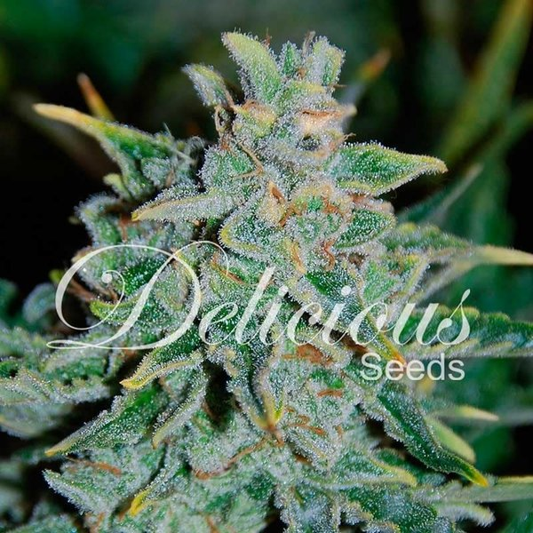 Delicious Seeds Delicious Seeds Northern Light Blue Auto Fem 5 pk
