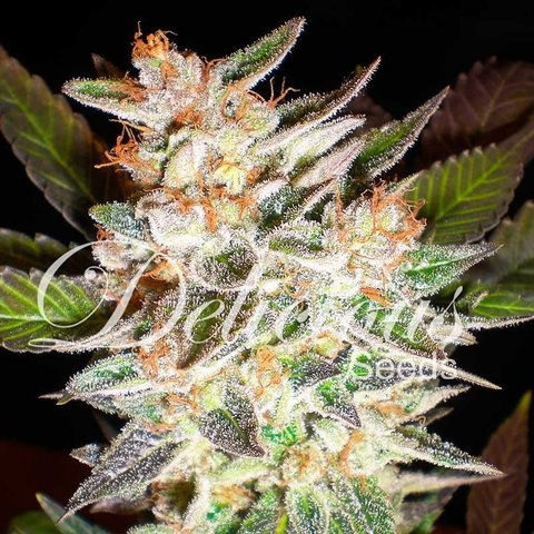 Delicious Seeds Delicious Candy Auto Fem 5 pack