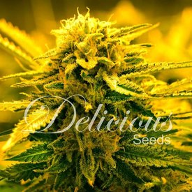 Delicious Seeds Sugar Black Rose Auto Fem 5 pk