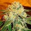 Delicious Seeds Marmalate Fem 5 pack