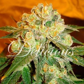 Delicious Seeds Delicious Seeds Marmalate Fem 5 pk