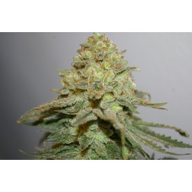 Digital Genetics Digital Genetics The Durban Special Reg 13 pk