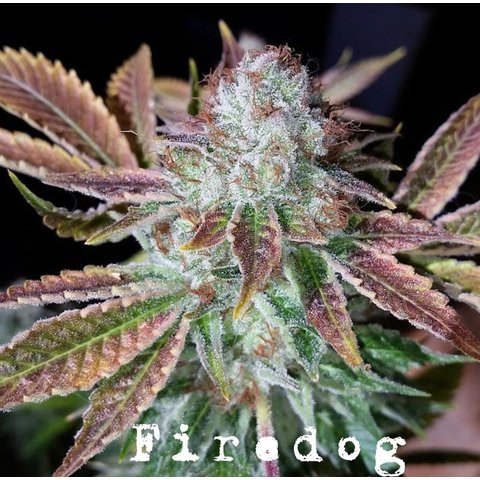 Ali Gee Seed Collective Fire Dog Reg 10 pack