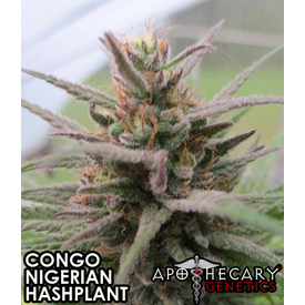 Apothecary Apothecary Congo x Nigerian x Hashplant Reg 10pack