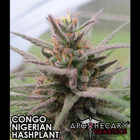 Apothecary Congo x Nigerian x Hashplant Reg 10 pk