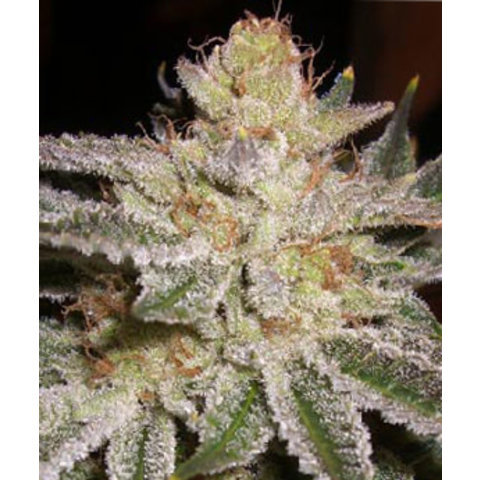 Apothecary Sour G Reg 10pack