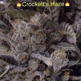 Crockett Family Farms Crockett's Haze Reg 12 pk