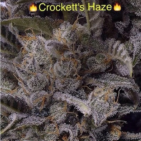 Crockett's Haze Reg 12 pk