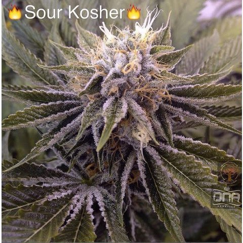 Sour Kosher Reg 12 pk