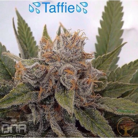 Crockett Family Farms Taffie Reg 12 pk