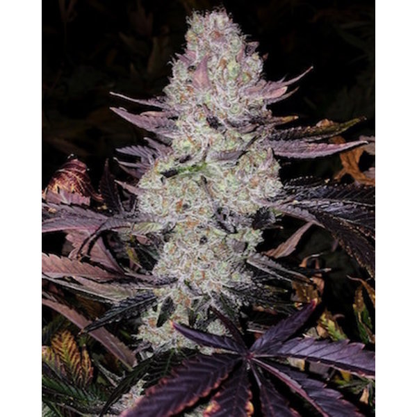 Ethos Genetics Grape Diamonds R2 Fem 10 pk