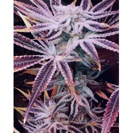 In House Genetics In House Genetics Sugar Cane Fem 12pk