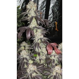 Cali Connection Cali Connection Black Kush Fem 6pk