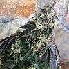 Exotic Genetix Driz-Niper Reg 10pk