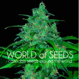 World of Seeds World of Seeds Wild Thailand Fem 7 pack