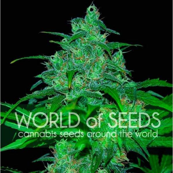 World of Seeds World of Seeds Wild Thailand Fem 7 pk