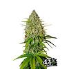 420 Fast Buds Grape Fruit Auto-Fem 5 pk